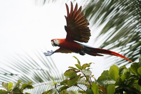 costa_rica_red_macaw_-_central_pacific_coast.jpg