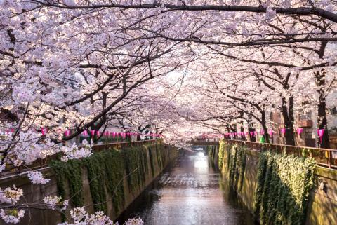 tokyo_cherryblossom.jpg