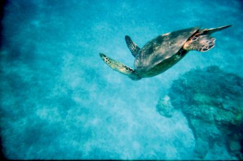 Hawaii_sigling_cruise__seaturtle.jpg